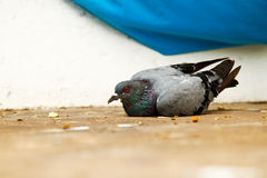 Injured pigeon. On the floor Royalty Free Stock Photos