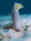 Injured puddingwife wrasse with a fishhook stuck in the back of its head, Bonaire, Netherlands Antilles. Injured puddingwife wrasse with a fishhook lodged in stock image