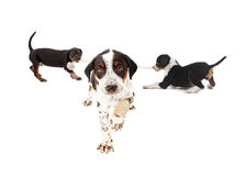 Injured puppy with playful pups in background Royalty Free Stock Photography