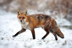 Free Injured Red Fox Passing By On In A Polar Landscape With Snow In Wintertime Stock Images - 162912924
