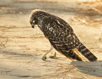 Injured Red Shouldered HAwk. An injured hawk I photographed in Florida Stock Photo