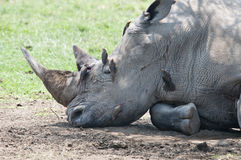 Injured rhino resting in shade with oxpeckers. stock image