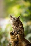 Injured screech owl missing an eye Royalty Free Stock Photos