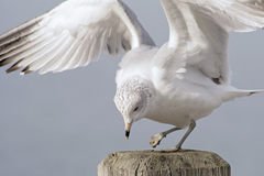 Injured Seagull Stock Image