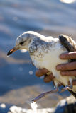 Injured Seagull Royalty Free Stock Photos