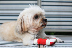 Injured Shih Tzu leg. Wrapped by red bandag Stock Photography