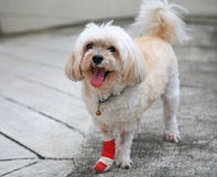 Injured Shih Tzu royalty free stock images