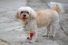 Injured Shih Tzu with red bandage Royalty Free Stock Image