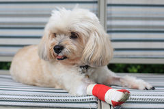 Injured Shih Tzu with red bandage stock photos