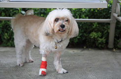 Injured Shih Tzu standing Stock Photos