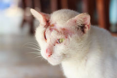 Injured white cat Royalty Free Stock Image