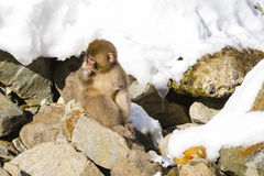 Injured Wild Baby Snow Monkey on Rocks Royalty Free Stock Photography