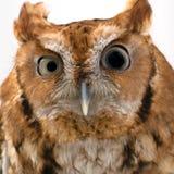 Injured Wild Owl Stock Image