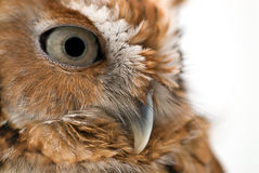 Injured Wild Owl Royalty Free Stock Image