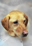 Injured Yellow Lab Dog with Cone. Close up of a yellow lab's head with a cone to protect his injury Stock Images