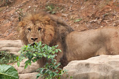 Injuried Lion Royalty Free Stock Images