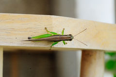 Injuries Grasshopper Royalty Free Stock Photo