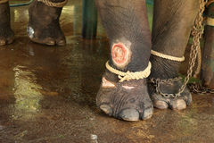 Injury elephant, wounds to the leg of the elephant Royalty Free Stock Photo
