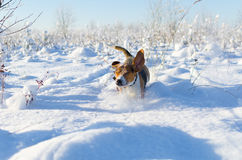 Inkört snöig fält för hund Solig ny dag för vinter Beaglet kör arkivfoto