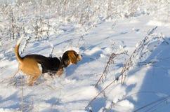 Inkört snöig fält för hund Solig ny dag för vinter Beaglet kör arkivbild