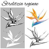 Set of vector contour flowers on a white background. Strelitzia reginae. Sketches of isolated flowers drawn by ink. Outline clipar. T for summer design and vector illustration