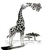 Giraffe in the savanna. Ink black and white drawing of an African giraffe in the savanna eating a tree leaves stock illustration