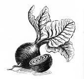 Beet root. Ink black and white illustration of a beet roots with leaves Stock Photos