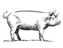 Pig sketch. Ink black and white illustration of a big standing pig stock illustration