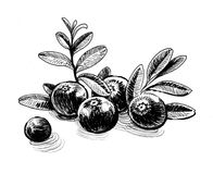 Cranberries. Ink black and white illustration of a bunch of cranberries Royalty Free Stock Photo