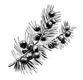 Juniper branch. Ink black and white illustration of a juniper branch vector illustration