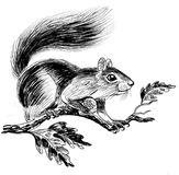 Squirrel on oak tree. Ink black and white illustration of a squirrel with a corn on oak tree royalty free illustration