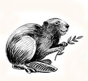 Beaver with branch. Ink black and white sketch of a sitting beaver with a tree branch royalty free illustration