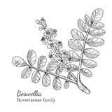 Ink boswellia hand drawn sketch Royalty Free Stock Photos