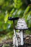Ink cap fungi Stock Photos