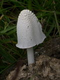 Ink cap mushroom (Coprinus) growing on dung Royalty Free Stock Image