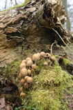 Ink cap mushrooms Stock Photo