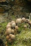 Ink cap mushrooms Stock Photos