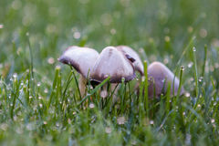 Ink Cap Mushrooms in the morning Royalty Free Stock Photography