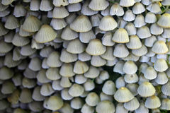 Ink cap mushrooms Royalty Free Stock Images
