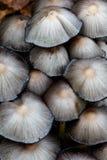 Ink caps. Group of common ink cap (Coprinopsis atramentaria) mushroom the night before disintegrating royalty free stock image