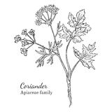 Ink coriander hand drawn sketch. Ink coriander herbal illustration. Hand drawn botanical sketch style. Absolutely vector. Good for using in packaging - tea Stock Photo