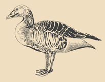 Ink drawing of bird duck, Anser anser Stock Photos