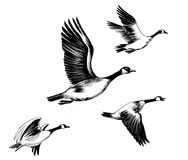 Flying geese. Ink drawing of a flying geese Royalty Free Stock Photos