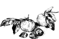 Ink drawing fruits Stock Photo