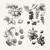 Ink drawn collection of berries royalty free illustration
