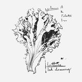 Ink Drawn Lettuce Leaf Stock Photos