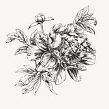 Ink drawn peony flower Royalty Free Stock Photo