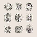 Ink drawn walnuts Stock Images