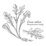 Ink eruca sativa hand drawn sketch. Ink arugula herbal illustration. Hand drawn botanical sketch style. Absolutely vector. Good for using in packaging - tea Stock Images