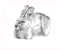 Ink graphic easter Bunny rabbit. Ink graphic easter Bunny original etcing illustration hare pen drawing Stock Photos